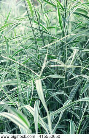 Grass Texture, Tall Tropical Grass, Natural Background