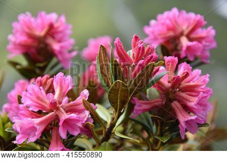 Wild Flowers That Are Typically Created In The Swiss Alps But Are Shared With The Alps Or Rosa De Lo
