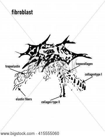 Fibroblast Vector Illustration. Microscopic Close-up With Extracellular, Collagen Fibrils, Elastin,