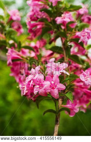 Flowering Weigela Hybrida Rosea. White And Pink Weigela Flowers On Blurry Green Background. Flower L
