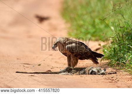 Tawny eagle (Aquila rapax) eating its prey in natural park, Africa