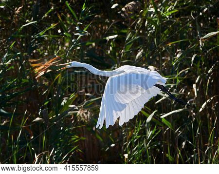 The great egret (Ardea alba), also known as the common egret or great white heron fishing in the blooming lagoon