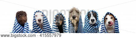 Funny Group Of Dogs Bath Wrapped With A Striped Towel. Summer Time Concept. Isolated On White Backgr