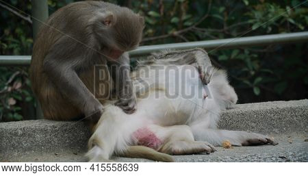 Monkey delousing with other monkey
