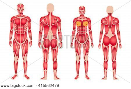 Human Muscular System Anatomical Poster. Structure Of Muscle Groups Of Men And Women In Comparison F