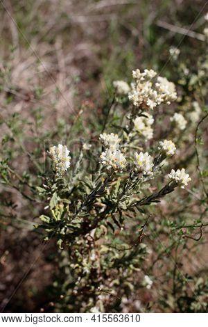 Blooming Disciform Head Inflorescences Of Bicolor Everlasting, Pseudognaphalium Biolettii, Asteracea
