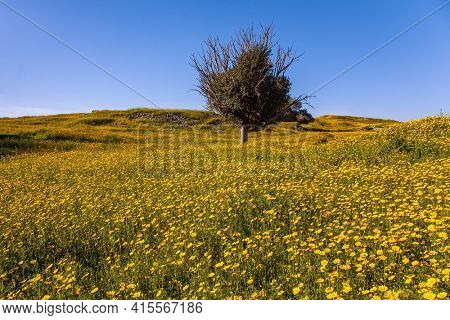 Israel. Fields of flowers in the bright southern sun. Magnificent blooming spring. Blue sky and light clouds. Lovely warm day. Walk in the blooming Negev desert.