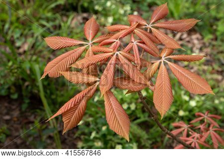 Aesculus Sylvatica Or Painted Buckeye Red Colored Young Leaves In The Spring
