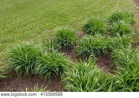 Molinia Caerulea Arundinacea In The Spring Garden. Tall Purple Moor Grass.