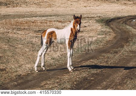 A Beautiful Curious Foal Stands On A Country Road In A Field And Looks At The Camera. A Cute Foal Of
