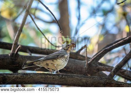 Fieldbird Sits On A Branch With A Worm In Its Beak. Fieldfare, Turdus Pilaris. Bird With Worms In It