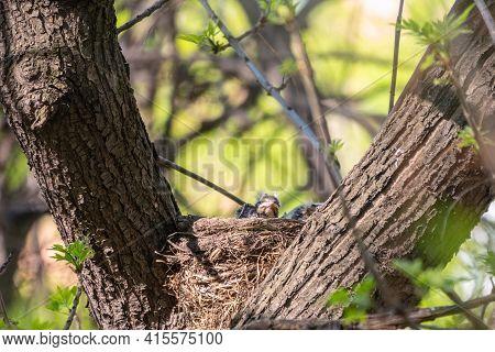 Chicks Of Thrush Fieldfare, Turdus Pilaris, In A Nest. The Fieldfare Chicks In The Wild Nature.