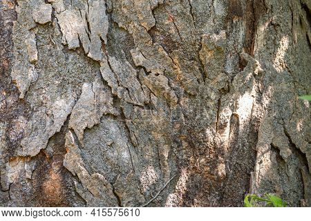 Magnolia Grandiflora Bark Background. Textured Bark Of Old Tree. Magnolia Grandiflora, Commonly Know