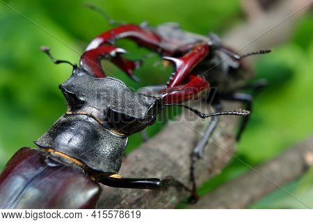Stag Beetles. Duel Of Two Males. Close Up.Selective Focus