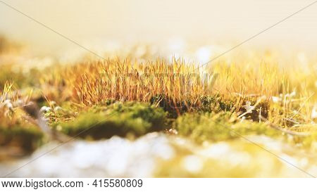 Beautiful Green And Orange Moss In The Sunlight, Moss Closeup, Macro. Nature Wildlife. Copy Space Ba