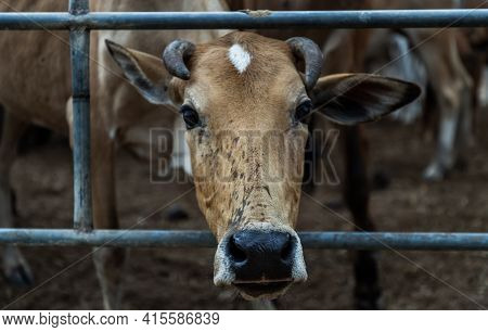 Close Up Of Brown Horned Cow Of Native Species In The Cattlepen At Farm. Cow Farm For Food Native Ca