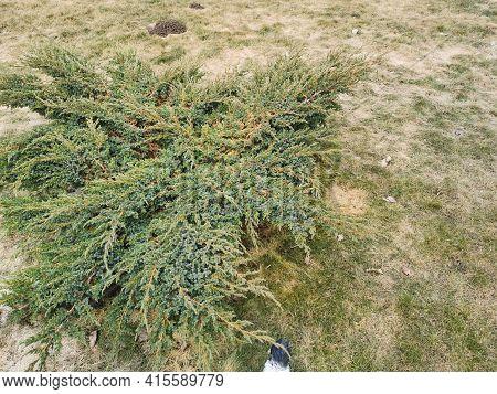 Decorative Evergreen Shrub In The Spring Garden Dry Grass