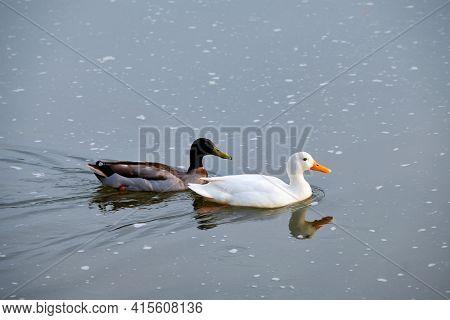 White pekin and mallard duck dabbling ducks in river