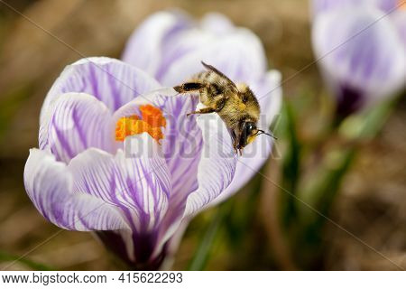 Honey Bee Sitting On White Crocus Flowers And Pollinating It