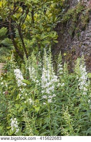 The Large Blossoming Plant Of A Physostegia Is Plentifully Covered With Inflorescences With White Fl