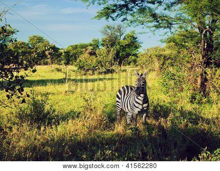 Zebra in grass on savanna, Africa. Safari in Serengeti, Tanzania poster