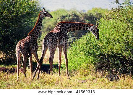 Two Giraffes on savanna eating. Safari in Serengeti, Tanzania, Africa poster