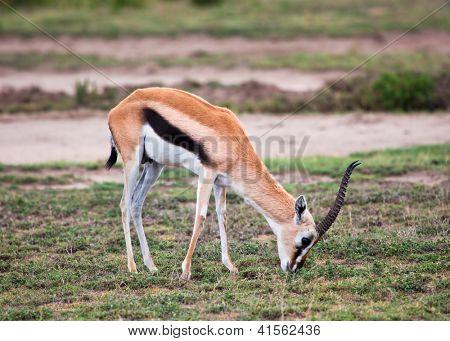 Thomson's gazelle on savanna in Africa. Safari in Serengeti, Tanzania poster
