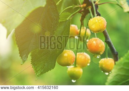 Cherry Berries On A Tree In The Sun. Sour Cherries On The Branch. Sweet Cherries On A Branch Just Be