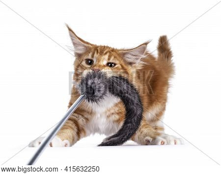 Cute Red With White Maine Coon Cat Kitten, Playing Like A Tiger With Fur Toy. Standing Like Bambi On