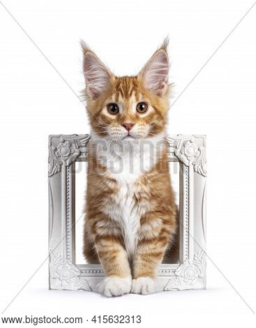 Cute Red With White Maine Coon Cat Kitten, Sitting Through White Empty Photo Frame. Looking Towards