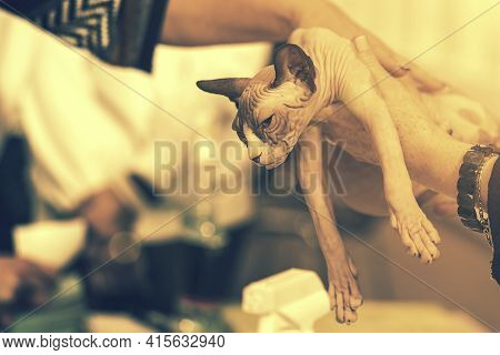 Top Photo Of A Domestic Cat Without Fur. Bald Sphynx Cat Bites The Hand, The Cat Plays. Young Bald S