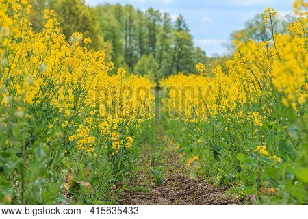 Dirt Road In A Landscape Of Brassica Napus Plants Of A Corn Field. Lots Of Yellow Flowers With Green