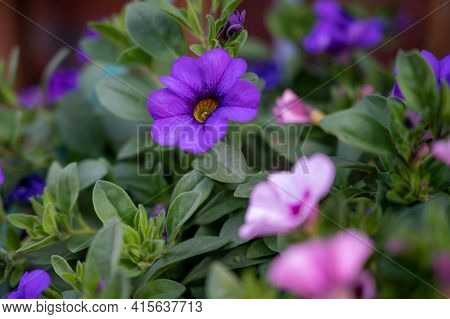 Colorful Blossom Of Petunia Decorative Plant Growing In Hanging Basket In Garden