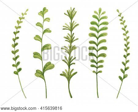 Herbs Cooking Rosemary, Thyme, Tarragon, Mint, Basil. Greenery Watercolor Sketch Hand Drawn Botanica
