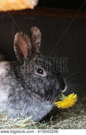 Cute Rabbit Sits In The Barn And Chews On A Low Tooth Flower