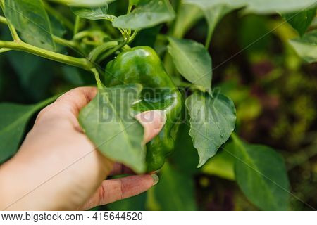 Gardening And Agriculture Concept. Female Farm Worker Hand Harvesting Green Fresh Ripe Organic Bell