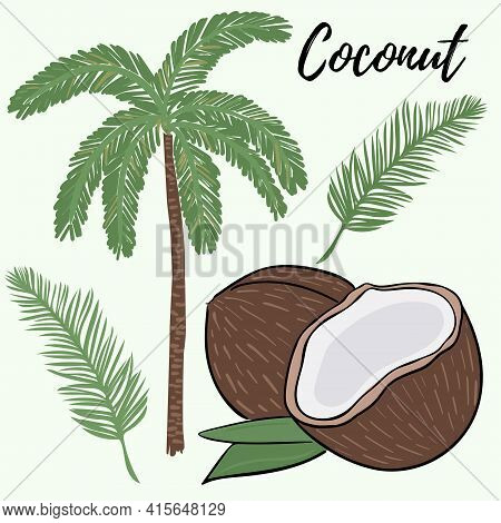 Set Of Palms, Branches And Coconuts. A Whole And Broken Coconut. Palm Branch And Tree. Vector. Freeh