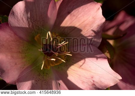 A Closeup Of Hellebore In Spring 2021 In Jena