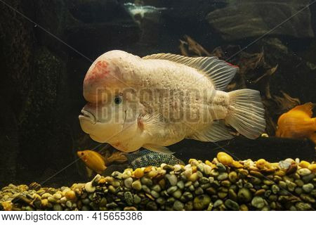 Amphilophus Citrinellus, Large Cichlid Fish Endemic To The San Juan River And Adjacent Watersheds In