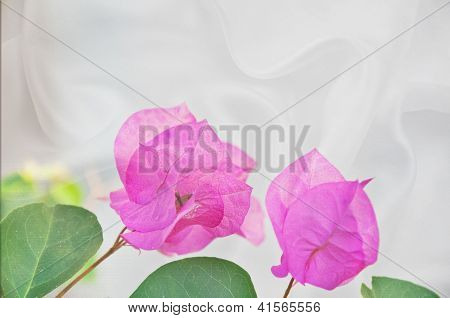 Pink Bougainvillea Flowers On White Silk Background
