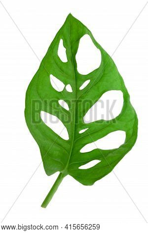 Isolated Tropical Leaf Of Monstera Adansonii Also Called Monstera Monkey Isolated. High Details Macr