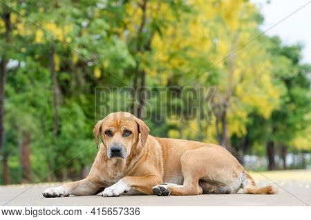 Adorable Dog Laying On Concrete Outside House Alone In Morning Sunlight Shows Bored, Sad Feeling And