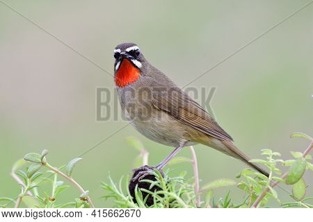 Close Up Of Brown Bird With Red Feathers On Its Chin Happily Perching On Dirt Pole Among  Green Plan