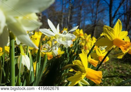Daffodil flowers yellow and white in spring, soft focus close up, in Djakneberget park in Vasteras, Sweden