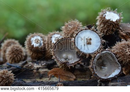 Bird's Nest Fungus Or Cyathus Striatus, An Unusual Looking Mushroom In Different Stages Of Developme