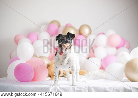 Happy First Dog Birthday. Beautiful Jack Russel Terrier Dog With Many Balloons On White Background.