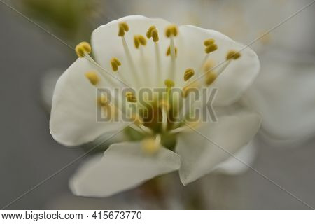 Beautiful Macro View Of Tiny White Filaments And Yellow Anthers Of Spring White Blossom With Corolla