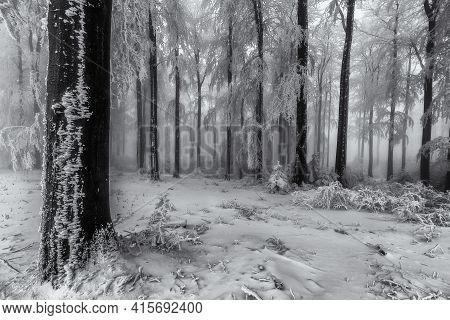 Beech Trees Trunks In A Winter Frosty Forest