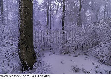 Beech Tree Trunk In A Winter Frosty Forest