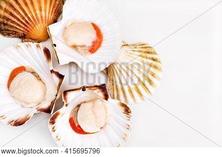 Raw Scallops In Shells On White Background. Mediterranean Seafood. Fresh Shellfish. Aequipecten Oper